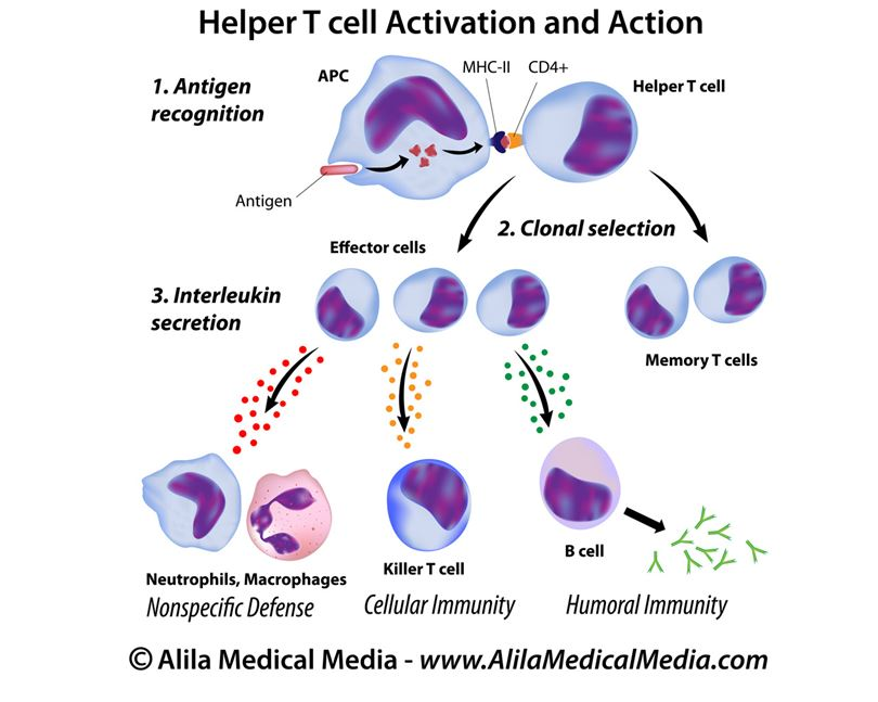 Helper T cell activation and action