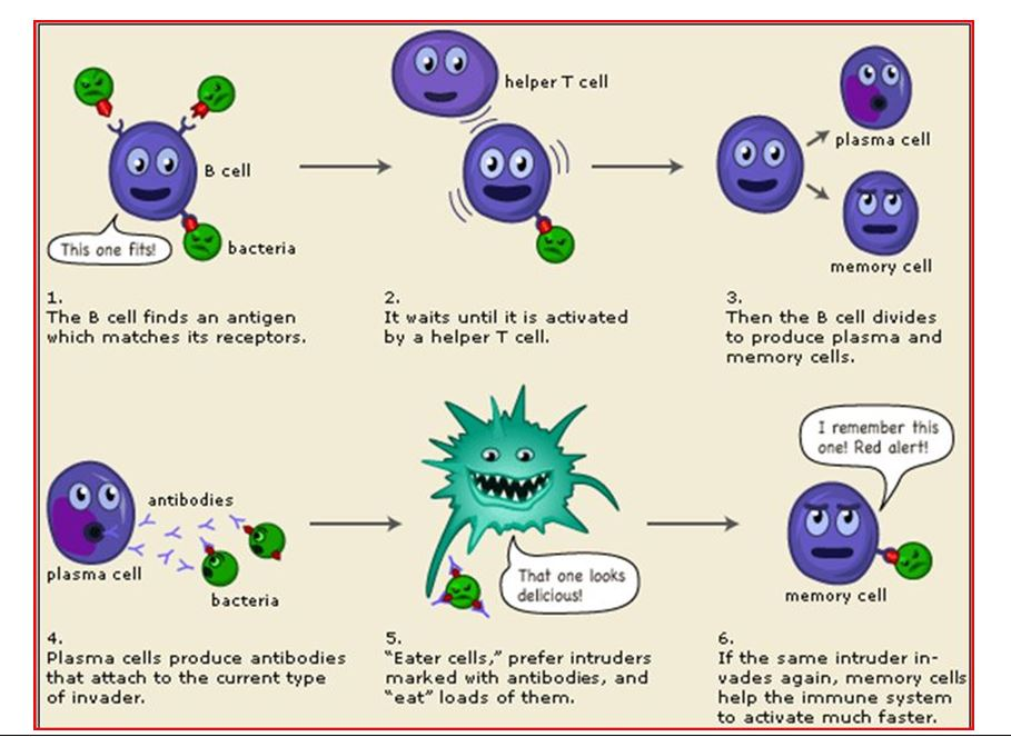 Helper T cell