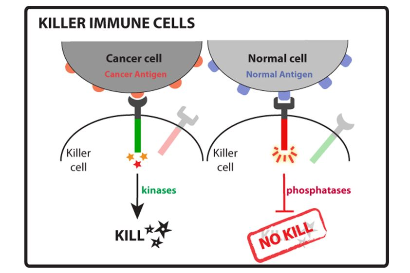 Killer immune cells